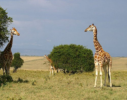 The Rothschild's Giraffe