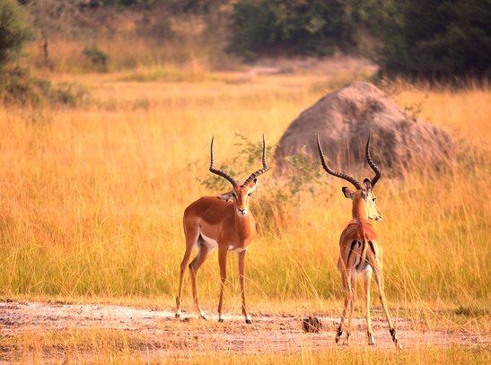 antelopes uganda