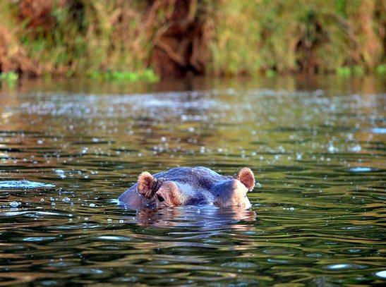 lake mburo hippos